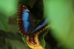 Blue butterfly_1