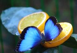 Blue butterfly_3