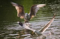 Flying Seaeagle_1